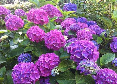 growing hydrangeas  .coolgarden, Beautiful flower