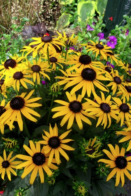 Rudbeckia-Little-Goldstar