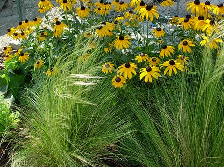 rudbeckia-with-grasses