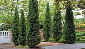 Winter Trees: Chamaecyparis, Cupressocyparis And Cupressus
