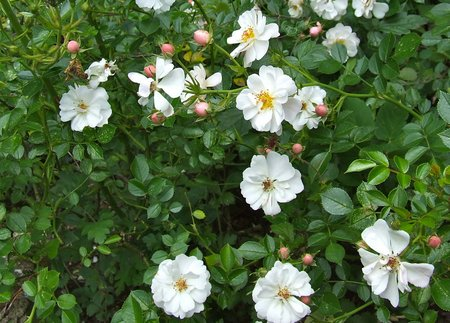 ground-cover rose
