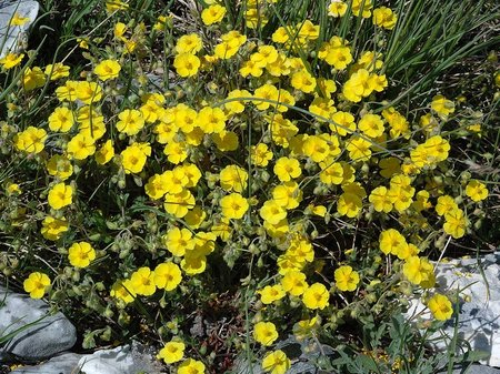 Helianthemum1