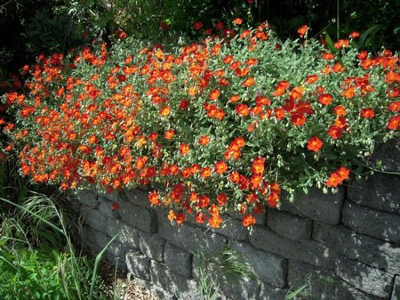 helianthemum3