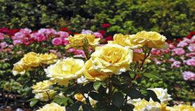 Types Of Garden Rose