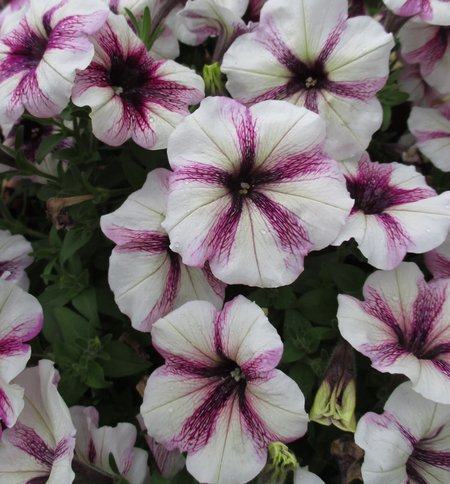 Petunia 'Peppy Plum'