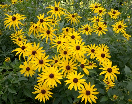 black-eyed-susan3