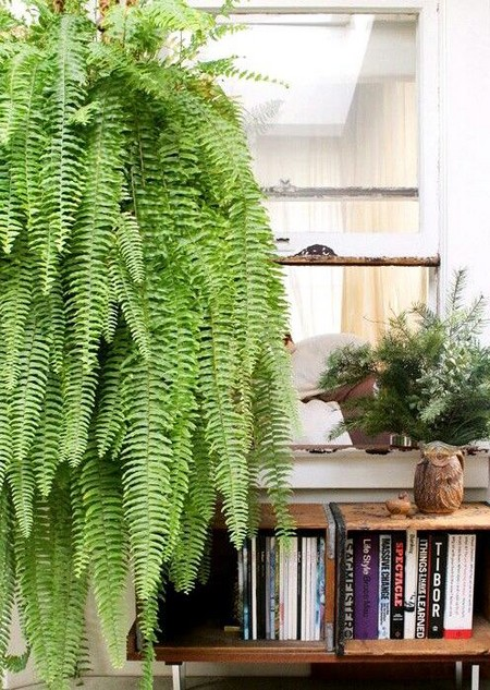 Hanging-basket-fern