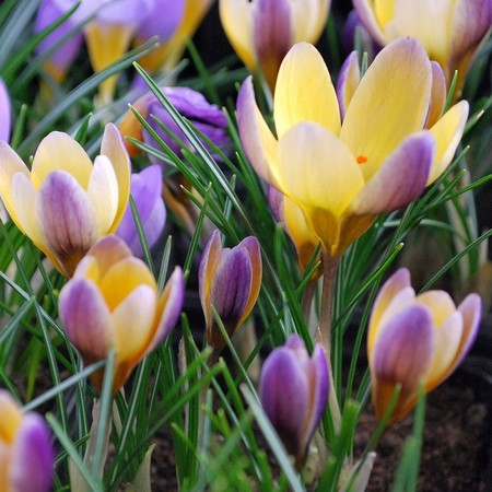 Crocus-advance