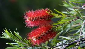 Growing Callistemon