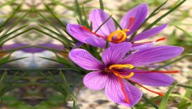 How To Grow Saffron?