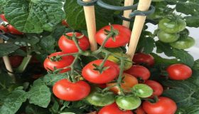 Grow Fantastic Tomatoes In Containers