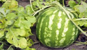 How To Grow Delicious Watermelons?