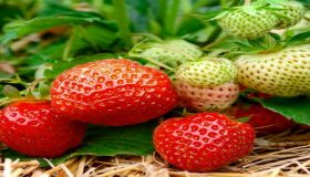 All About Home-Growing Strawberries