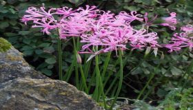 Nerines In The Fall Garden
