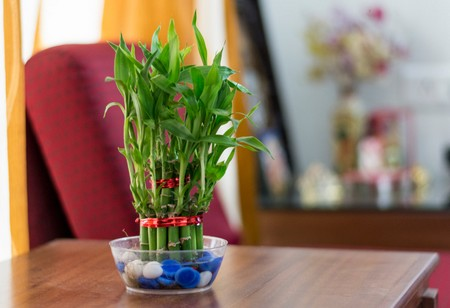 Care For Indoor Bamboo Plants