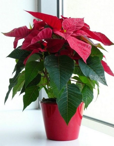 Indoor-poinsettias