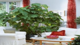 Sparmannia: Growth And Care