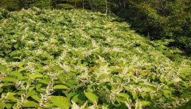 3 Things You Should Know About Knotweed