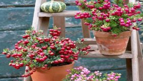 Pernettya: Decorative Berries In Fall Garden Borders