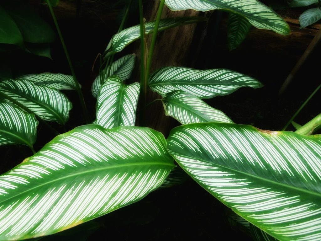 5 Tips to decorating with calatheas