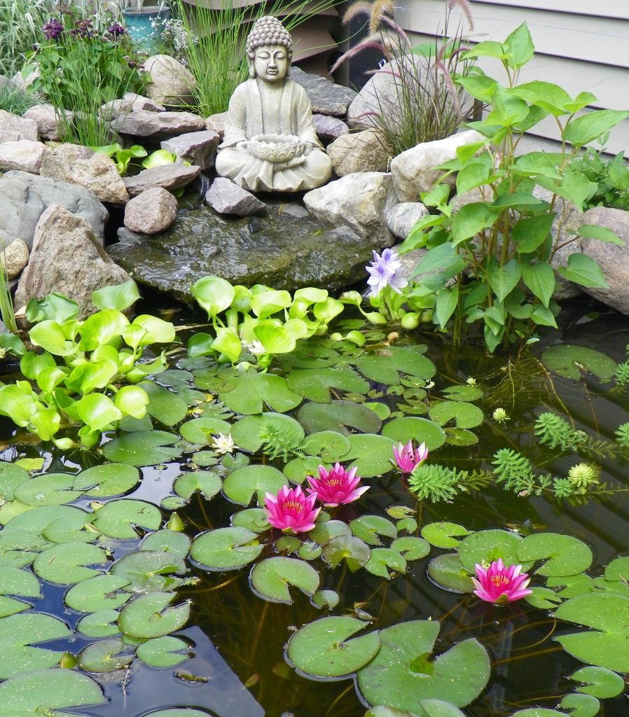 Lotus Flowers For Your Garden Pond
