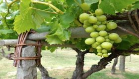 Grapevines As A Part Of The Home Landscape